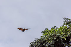 Fruit bat in flight during the day Stock Photo