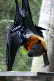 Fruit bat - flying-fox Royalty Free Stock Images