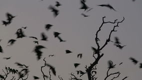 Fruit bat (flying fox) colony flying at dusk stock footage