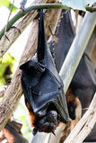 Fruit bat or flying fox hanging from a tree