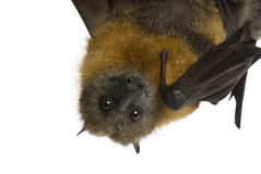 Fruit bat (flying fox) hanging upside down on whit. Australian fruit bat (flying fox) hanging upside down on white background Royalty Free Stock Photography