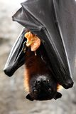 Fruit Bat with Food. Fruit bat or flying fox with a guava Stock Images