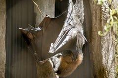 A fruit bat. The fruit bat is hanging upside down Stock Photography