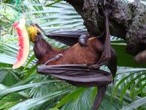 Fruit bat stock photography