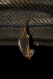 Fruit Bat Hanging. Upsidedown from a wire grid Royalty Free Stock Photos