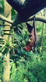 Fruit bat hanging from tree Stock Images