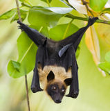 Fruit bat hanging in tree stock photo