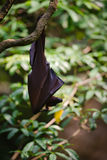 Fruit Bat Hanging from a Tree Branch Stock Images