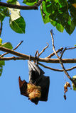 Fruit bat hanging on a tree Stock Photography