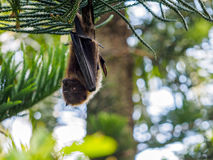 Fruit bat in Ishigaki. Japan Royalty Free Stock Image