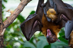 Fruit bat with its kid hanging on tree Stock Photo