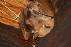 Fruit bat with Juvenile bat. Fruit bat with juvenile hanging from the sealing at Lethaba rest camp, kruger national park Royalty Free Stock Images