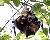 Fruit bat love making Royalty Free Stock Photo