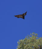 Fruit bat or flying fox Royalty Free Stock Photo