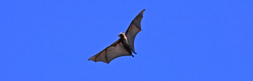 Fruit bat or lying fox Royalty Free Stock Image