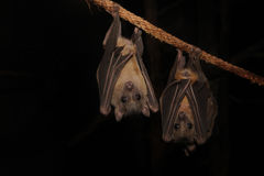 Fruit Bat (Rousettus aegyptiacus). Bats hanging from rope at night Stock Image