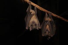 Fruit Bat (Rousettus aegyptiacus) Stock Image