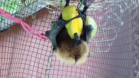 Fruit bat eating mango. Fruit bat of Seychelles hanging down eating mango fruits. The Pteropus seychellensis is a species of megabat of Pteropodidae family stock footage