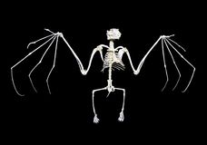Fruit Bat Skeleton Stock Photos