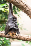 Fruit bat sleeping Stock Photo