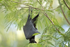 Fruit bat Stock Image