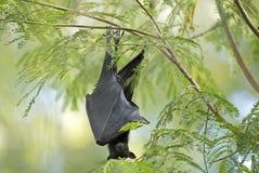 Fruit bat. Timber Creek, Northern Territory,Australia bats little red flying fox fruit bat Stock Image