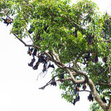 Fruit bat on tree Royalty Free Stock Image