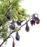Fruit bat on tree Stock Images