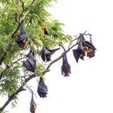 Fruit bat on tree Stock Images