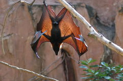 Fruit bat wings. Fruit bat hanging from branch with sunlight showing through wings royalty free stock image