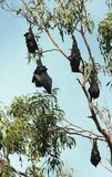 Fruit Bats 01 Stock Photo