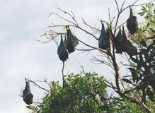 Fruit Bats Royalty Free Stock Images