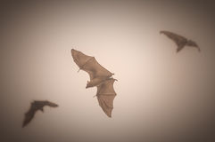 Fruit bats in flight Royalty Free Stock Photography