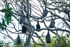 Fruit bats hanging from trees. Several fruit bats, also known as flying foxes, hanging from tree branches in Yeppoon, Queensland, Australia Royalty Free Stock Photos