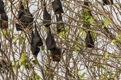 Fruit Bats hanging upside down on a Tree royalty free stock image