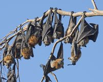 Fruit bats. Or  little red flying fox in outback, Queensland, Australia Royalty Free Stock Photography