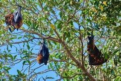 Fruit bats Palawan Philippines Royalty Free Stock Photo