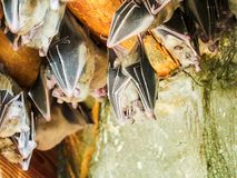Fruit bats at zoo. In Vienna, Austria Stock Photography