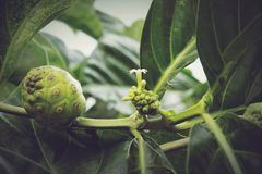 Morinda citrifolia, Noni. Is a fruit-bearing tree in the coffee family, Rubiaceae. Its native range extends across Southeast Asia. The species is now cultivated royalty free stock photos