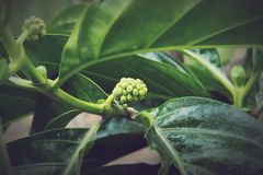 Morinda citrifolia, Noni. Is a fruit-bearing tree in the coffee family, Rubiaceae. Its native range extends across Southeast Asia. The species is now cultivated royalty free stock photography