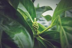 Morinda citrifolia, Noni. Is a fruit-bearing tree in the coffee family, Rubiaceae. Its native range extends across Southeast Asia. The species is now cultivated stock images
