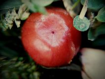 Fruit beauty in red and green look. The scene contains of a fruit which is getting tasty with time Stock Images