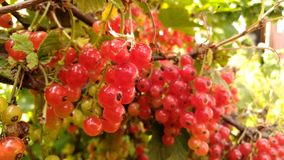 Fruit, Berry, Currant, Plant royalty free stock photos
