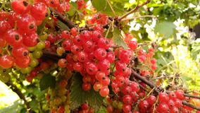 Fruit, Berry, Currant, Plant stock photography