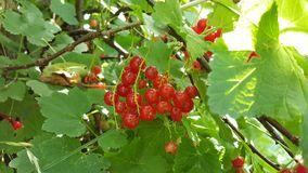 Fruit, Berry, Mulberry, Plant stock photography