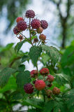 The fruit of the BlackBerry. Stock Images