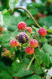 The fruit of the BlackBerry. Royalty Free Stock Photos