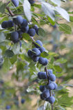 Fruit of the blackthorn Stock Photos