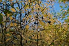 Fruit bleu de backthorn Images libres de droits
