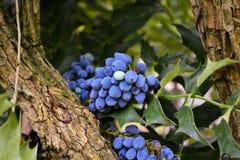 Fruit bleu de raisin sur l'arbre Images libres de droits